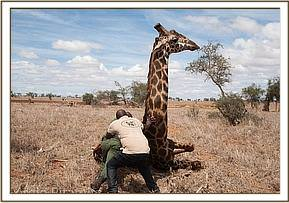 A giraffe has been caught in a snare