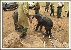The tiny elephant is extracted and taken to the Nairobi Nursery