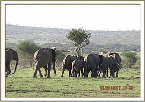 Herd of wild elephants containing the injured one