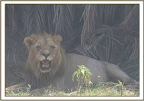 A lion is seen with fight injuries