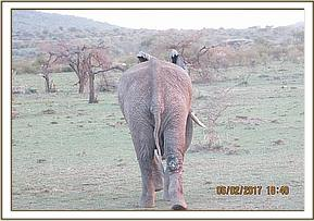 Elephant after treatment and walking away