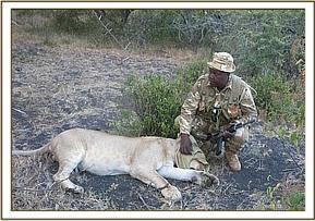 The lion is darted for translocation