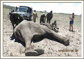 Preparing the elephant for treatment