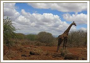 The giraffe was dragging a whole acacia tree by a snare