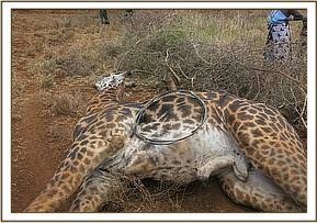 The snare was removed but the giraffe succumbed to complications
