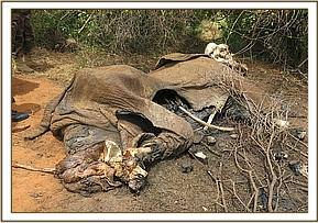 Four elephant carcasses are found. One was a definite poaching victim