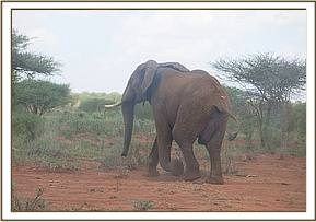 This elephant is seen with an abscess on its side
