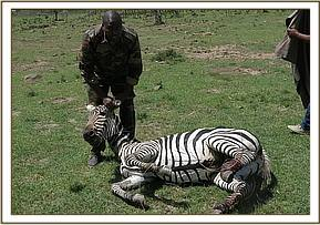 The zebra was darted from a vehicle