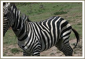 He was found isolated from the other zebras with two wires snares