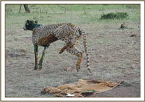The cheetah back on its feet after treatment