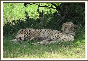 The cheetah before it is darted