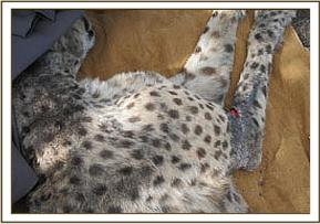 The cheetah had a wound on the elbow joint