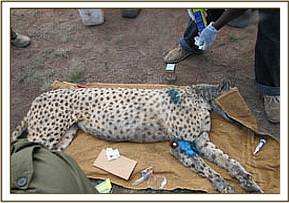 The cheetah's wounds are treated