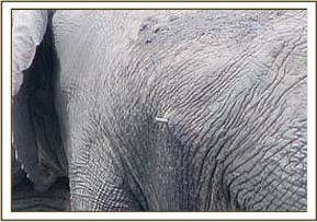 The spear head lodged in the elephants abdomen