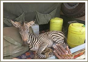 Orphaned Zebra in Land Cruiser