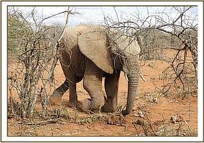 Elephant getting to its feet after analysis of swollen limb