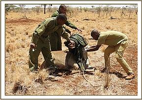 Preparing to release the eland