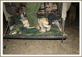 Loading the darted lioness