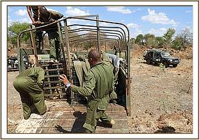 Releasing the lions in Meru NP