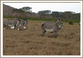 The Grevy Zebra with predator injuries