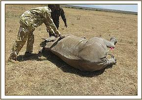 The team assist the rhino onto its side
