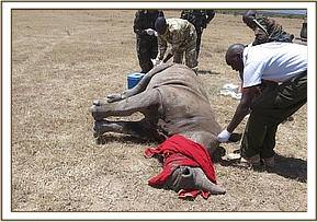 The team assess the rhino's condition