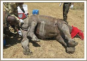 The rhino is given medication