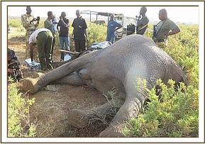 The Vet team assess the elephant