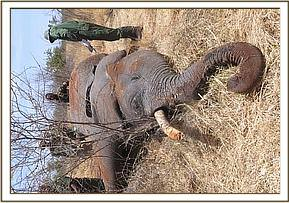 The elephant died from trauma to the abdomen