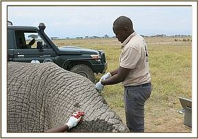 The vet treating the bull elephant