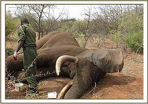 The vet operating on the elephant