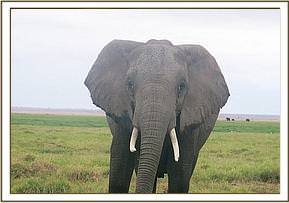 Elephant at the marsh