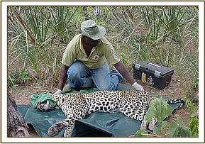 Leopard being treated