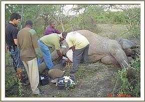 Oldonyuo Wuas elephant being treated