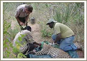Physical examination of leopard