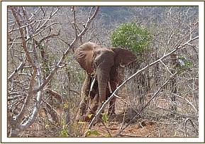 On Rukinga ranch in Voi a 15 year old elephant was reported limping on its right fore leg