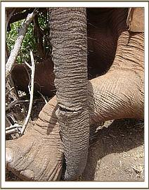 A close up of the tight snare around the 15 year old elephant's trunk
