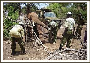 The unit had to work fast because the elephant went down badly & they were unable to pull it free