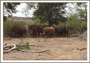 The young elephant in the herd, before the snare was removed