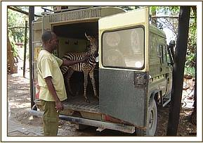 The rescued Zebra Foal is taken to the Voi unit to be raised & rehabilitated in Tsavo