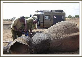 The DSWT team cuts the cable snare from around the bull's neck