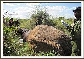 One of the immobilized elephants for collaring