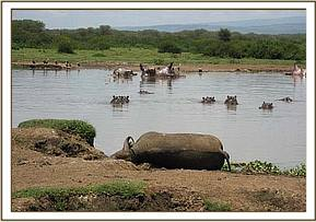 A dead buffalo and Hippo