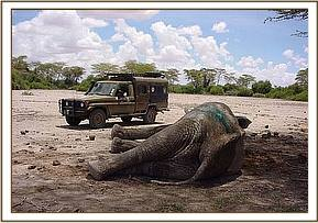 Waiting for the Amboseli bull to get to his feet having been given the reversal drug