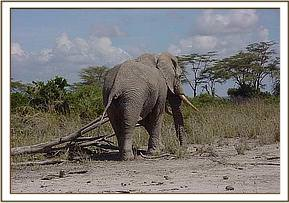 The Amboseli bull suffered a single spear wound in the rump