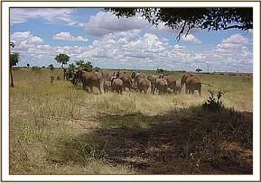 The Satao calf's herd were obviously most distressed by the calf's plight and operation