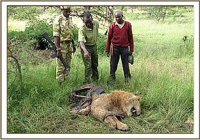 Poisoned lion in the Masai Mara