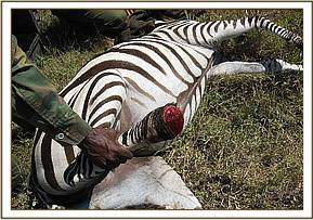 Kari farm Zebra with dramatic injury due to a snared back leg