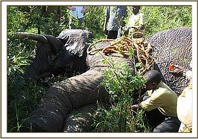 An elephant being treated in the Mara
