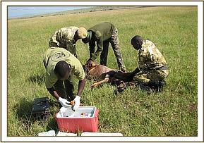 Treatment of a wounded Topi in the Mara